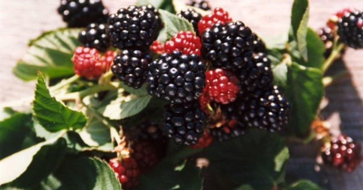 Black-berry